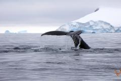 хвостовой плавник кита