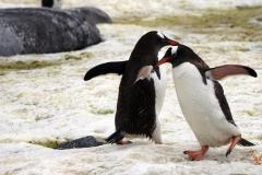 танец Папуанских пингвинов