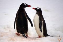 пара папуанских пингвинов