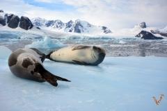 Тюлени крабоеды
