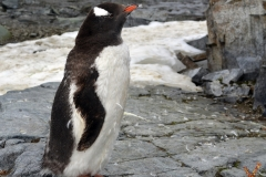 Папуанский пингвин фото