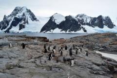 Колония антарктических пингвинов