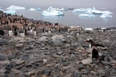 Папуанские пингвины на фоне залива