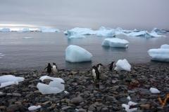 Субантарктические пингвины Антарктида