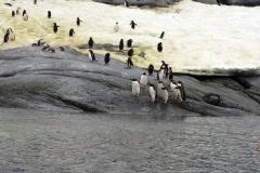 фотография Папуанских пингвинов
