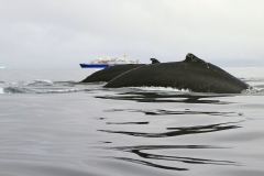 спины горбатых китов