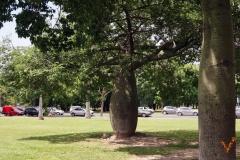 Бутылочные деревья Буэнос Айрес