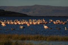 Фламинго Аргентина