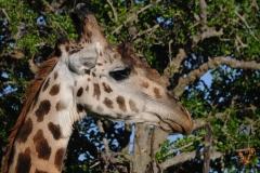Жираф Кения