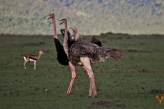 Африканский страус  Кения