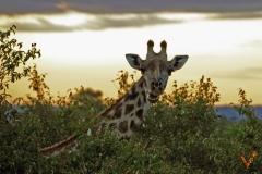 жираф за едой