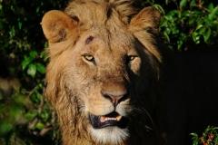 молодой лев Кения