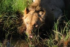 львица на водопое Кения