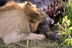 Молодой лев ест буйвола