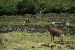 Альпаки на Мачу Пикчу