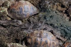 Гигантские черепахи (Маврикий)