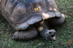 фото гигантской черепахи (Маврикий)